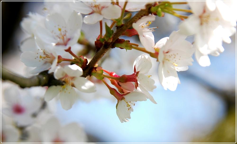 schön sind die Blüten