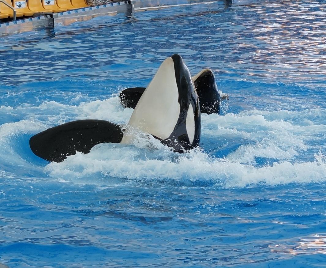schön wie Orcas tanzen können