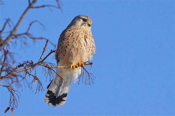 Schöne Aussicht  für den Turmfalken (Falco tinnunculus)
