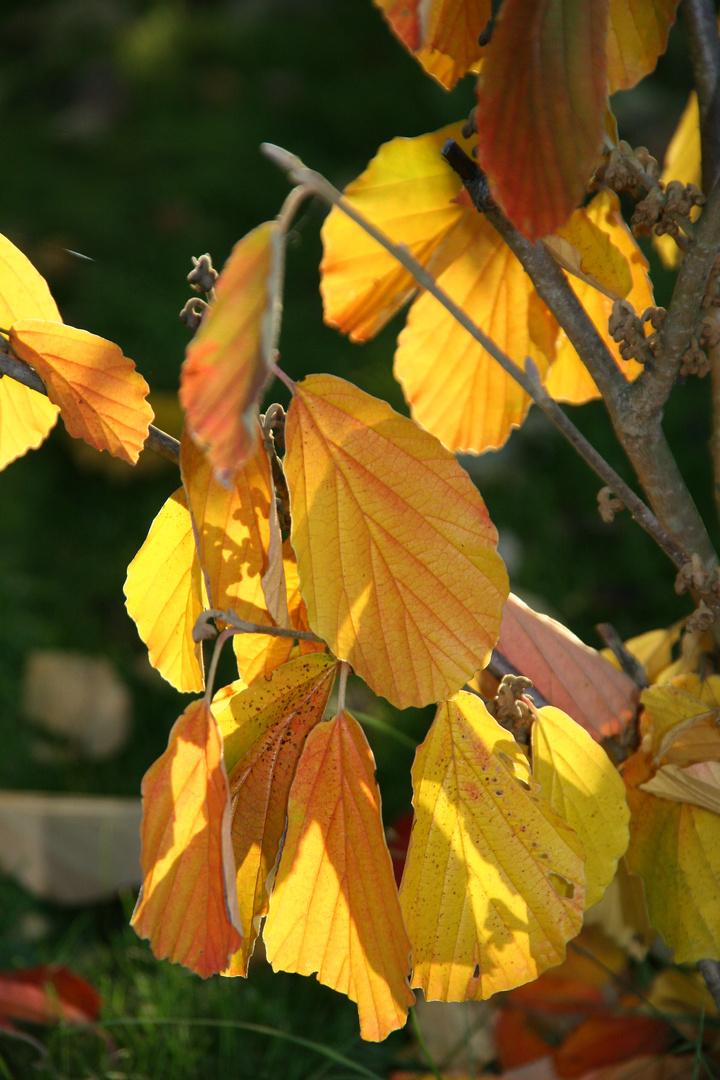 schöne Blätter der Zaubernuss...