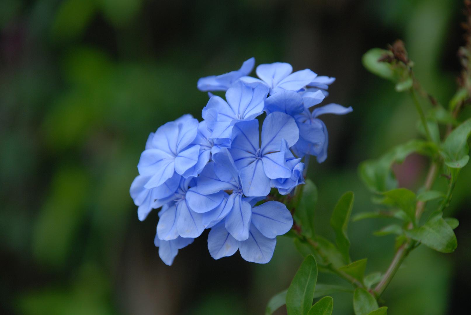 Schöne Blaue Blume oder sowas