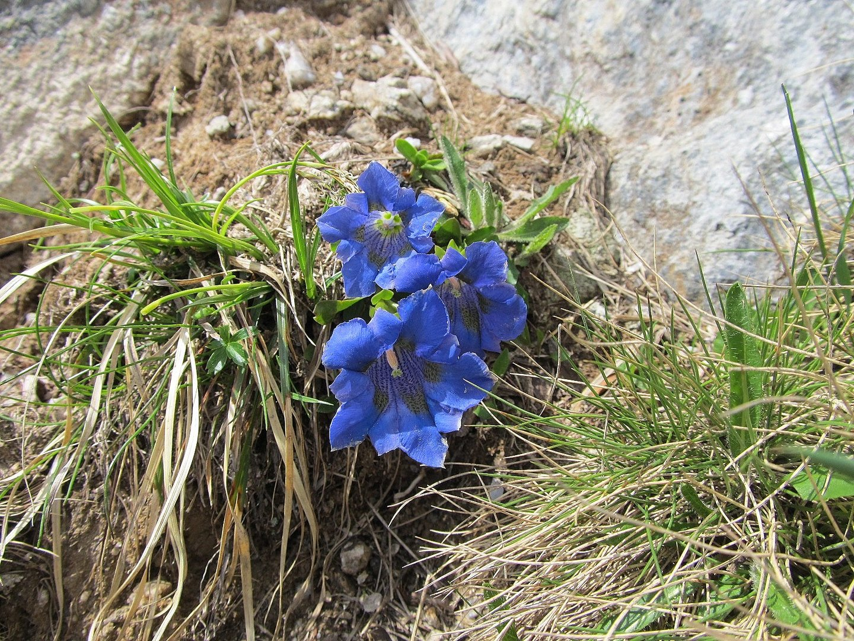 Schöne blaue Enziane