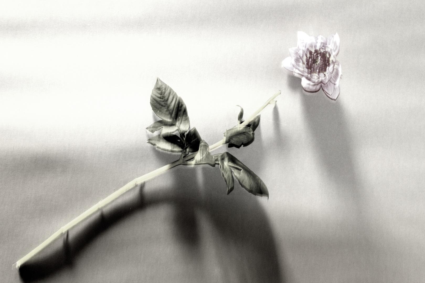 Schöne Blume, leider tod