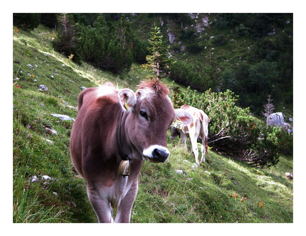 Schöne Kuh!
