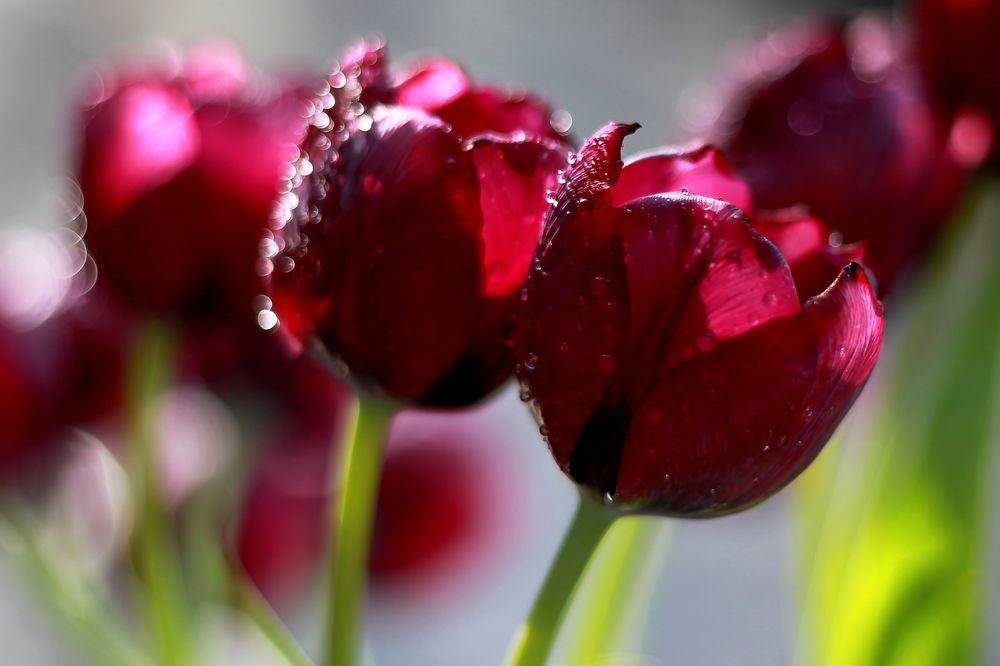 sch ne ostertage foto bild pflanzen pilze flechten bl ten kleinpflanzen tulpen. Black Bedroom Furniture Sets. Home Design Ideas
