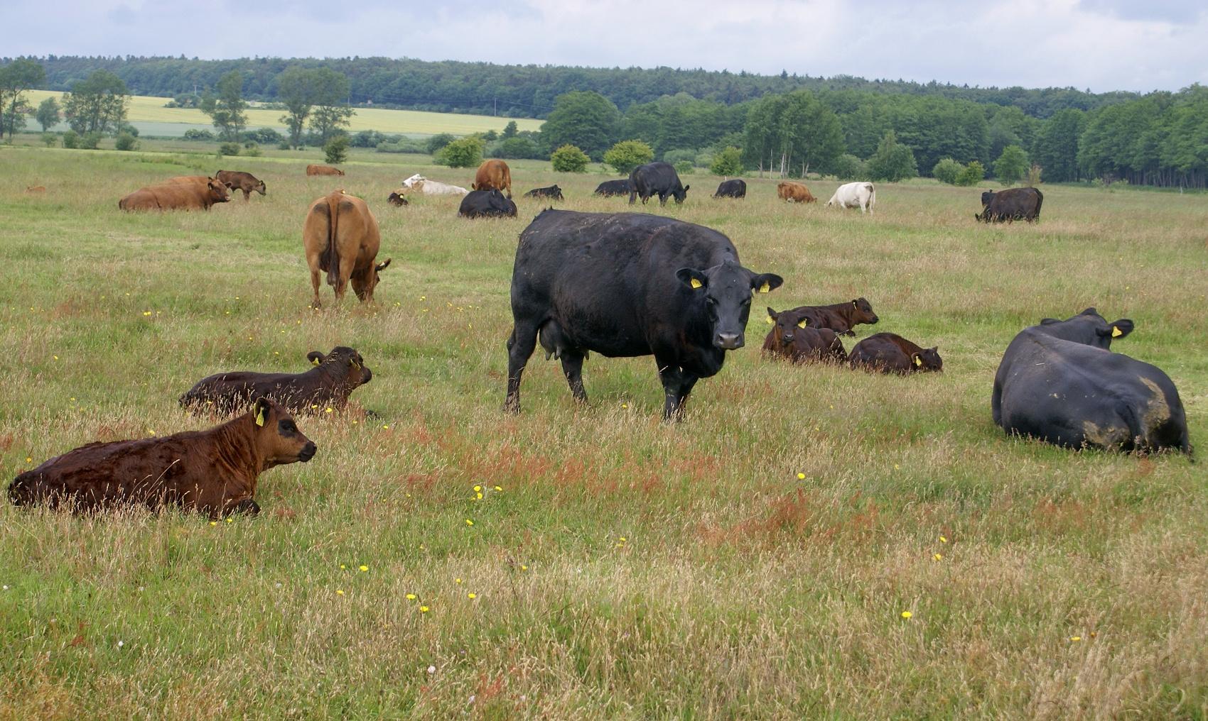 Schöne Rinderrasse