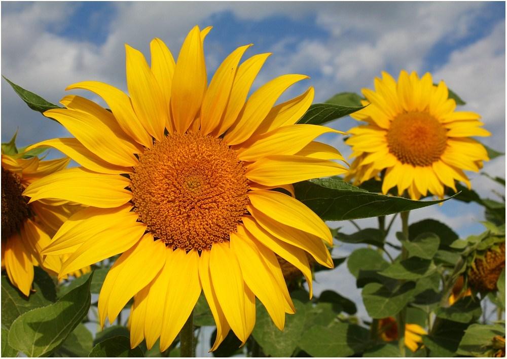 sch ne sonnenblume gr e foto bild natur sonnenblumen bl ten kleinpflanzen bilder auf. Black Bedroom Furniture Sets. Home Design Ideas