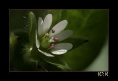 schöne Unkrautblüte