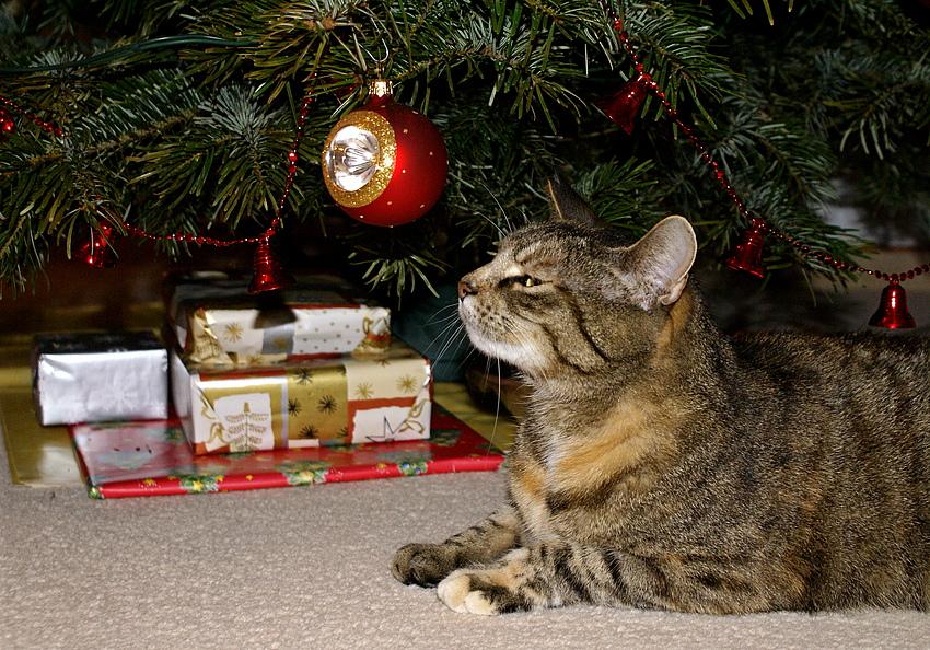 sch ne weihnachten foto bild tiere haustiere katzen. Black Bedroom Furniture Sets. Home Design Ideas