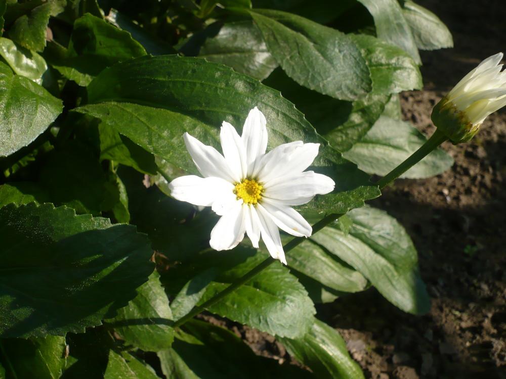 schöne weiße Blume