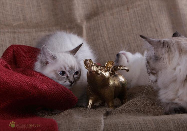 sch nen ersten advent foto bild tiere haustiere katzen bilder auf fotocommunity. Black Bedroom Furniture Sets. Home Design Ideas