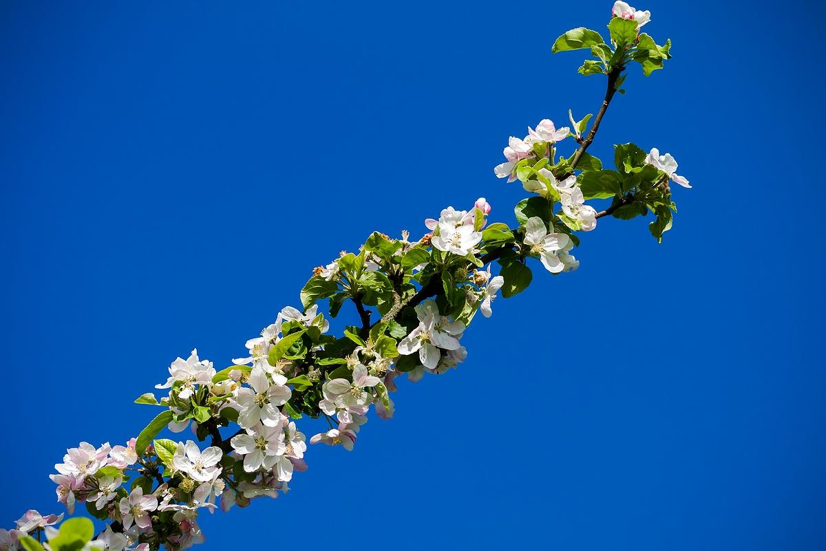 Schöner als die Apfelblüte