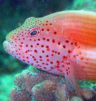 schöner Corallenwächter