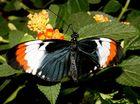 Schöner exotischer Schmetterling