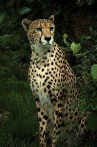 Schöner Gepard