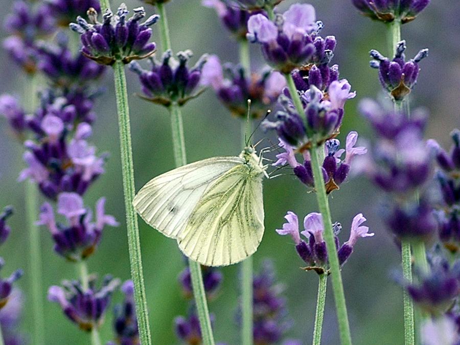 Schöner Kontrast auf dem Lavendel