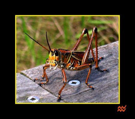 Schöner Southeastern Lubber Grasshopper