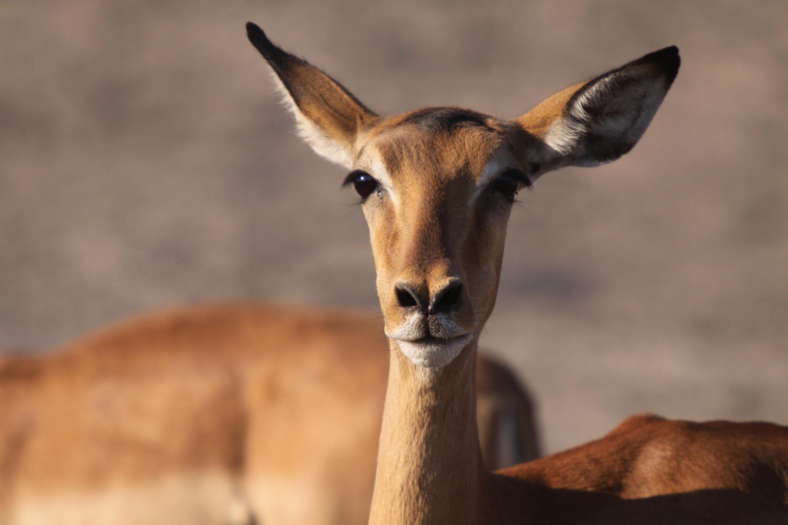 schönes Impala