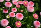 Schönheit in Pink