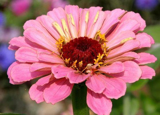 Schönheit in Rosa