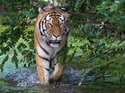 schönster Tiger