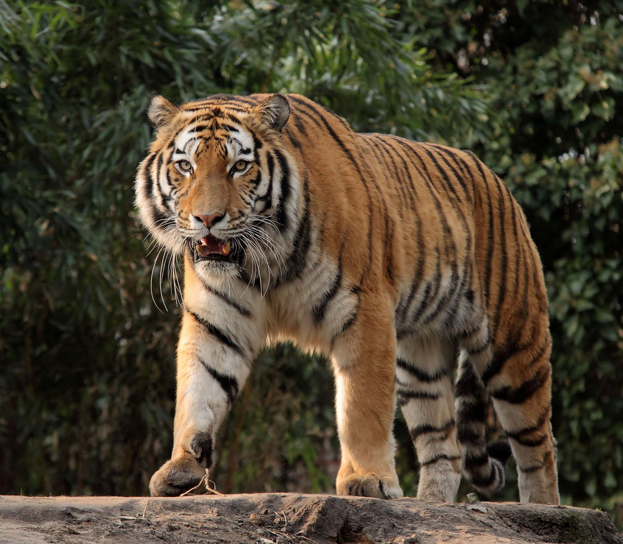Schönster Tigerkater