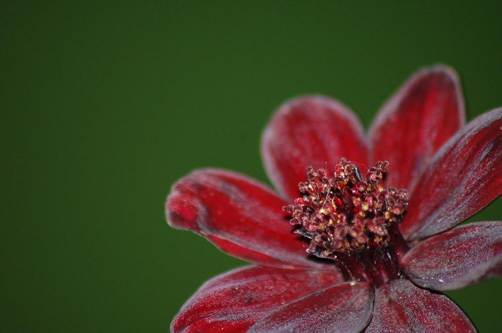 Schoki Blume
