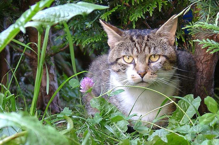 """Schoko"" the Cat"