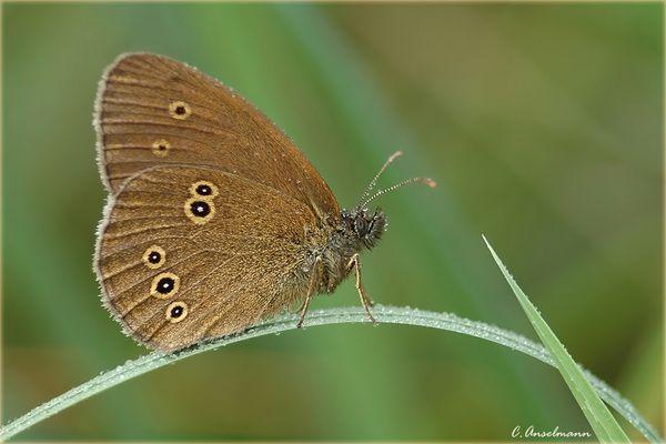 *Schokoladen - Schmetterling* ............ Schornsteinfeger genannt ?