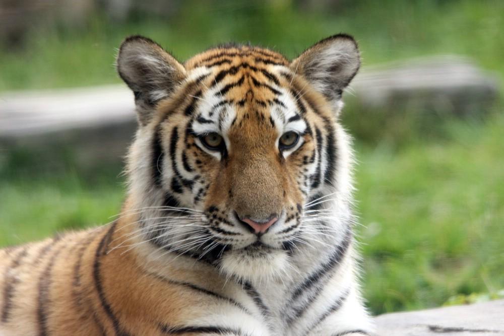 Schon fast ein großes Tigermädchen