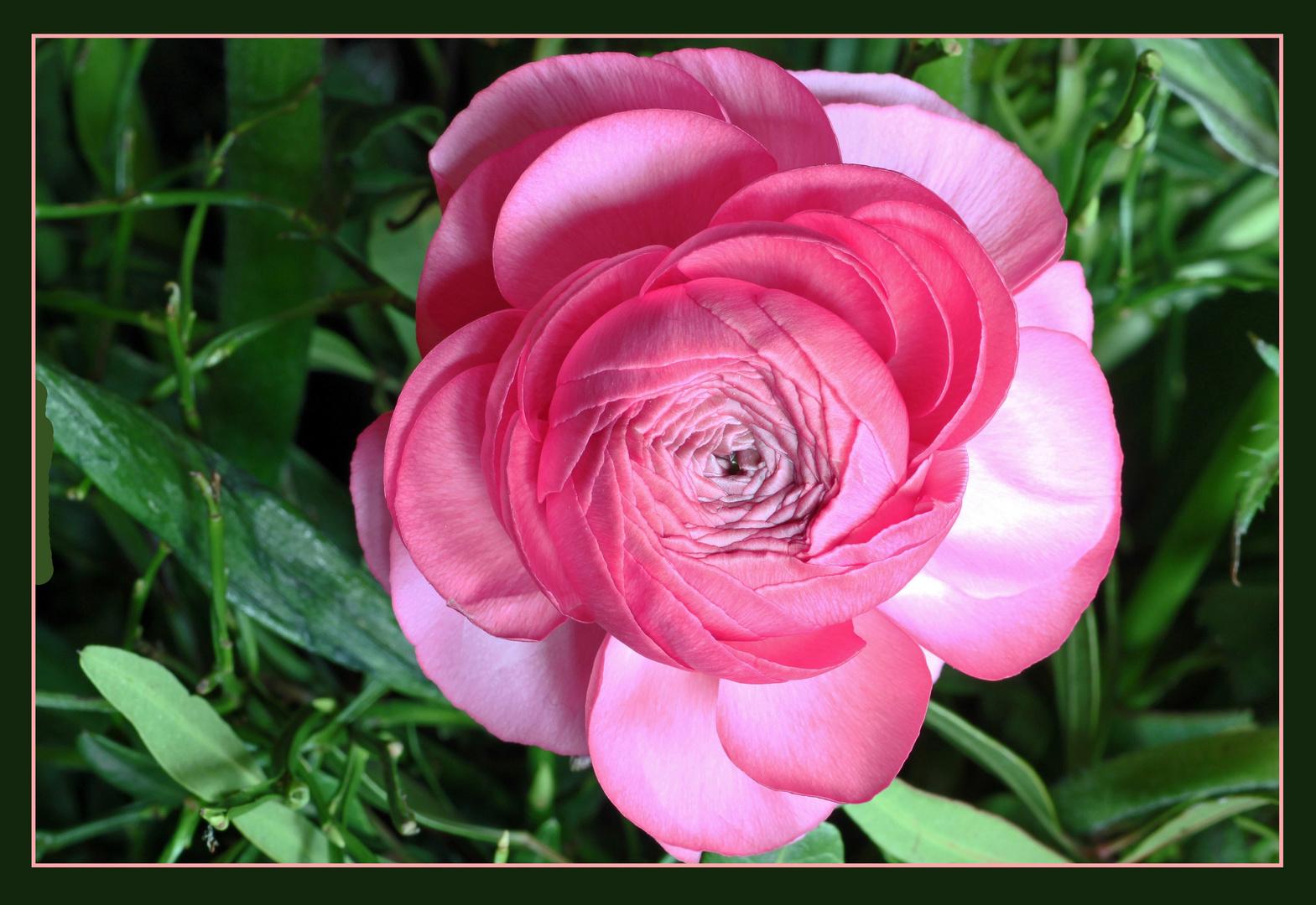 schon fast rosenhaft