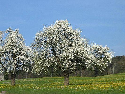 Schon mal einen Baumwollbaum gesehen?