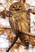 Schon wieder die Barred Owl
