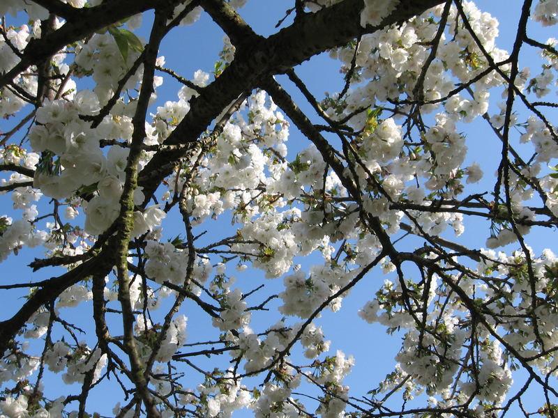 Schoooooooooooon wieder komme ich Euch mit blühenden Bäumen....