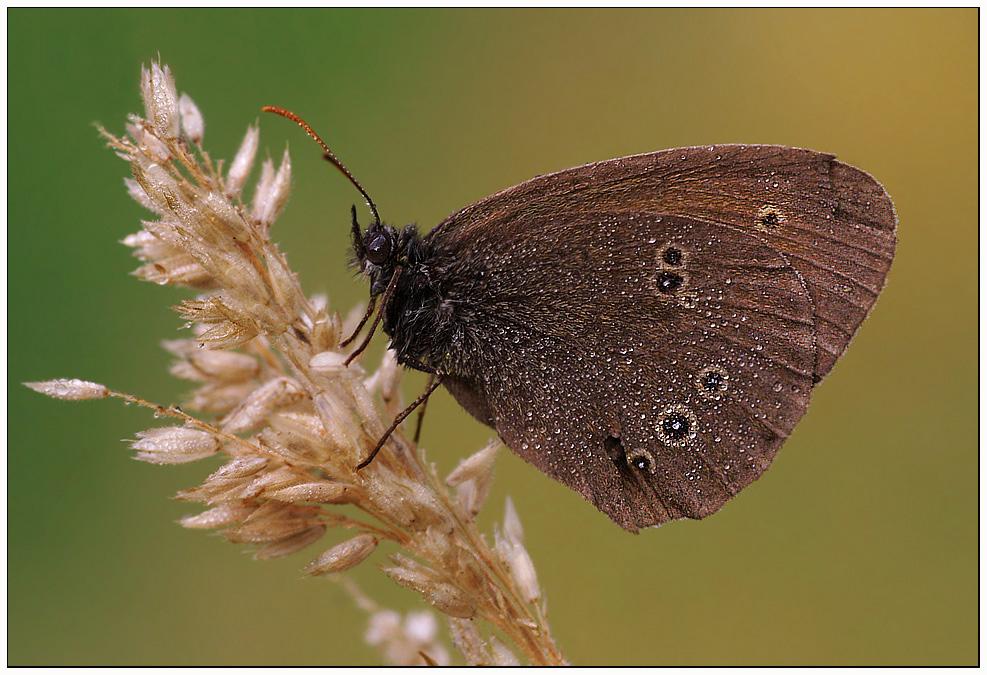 Schornsteinfeger -Aphantopus hyperantus-