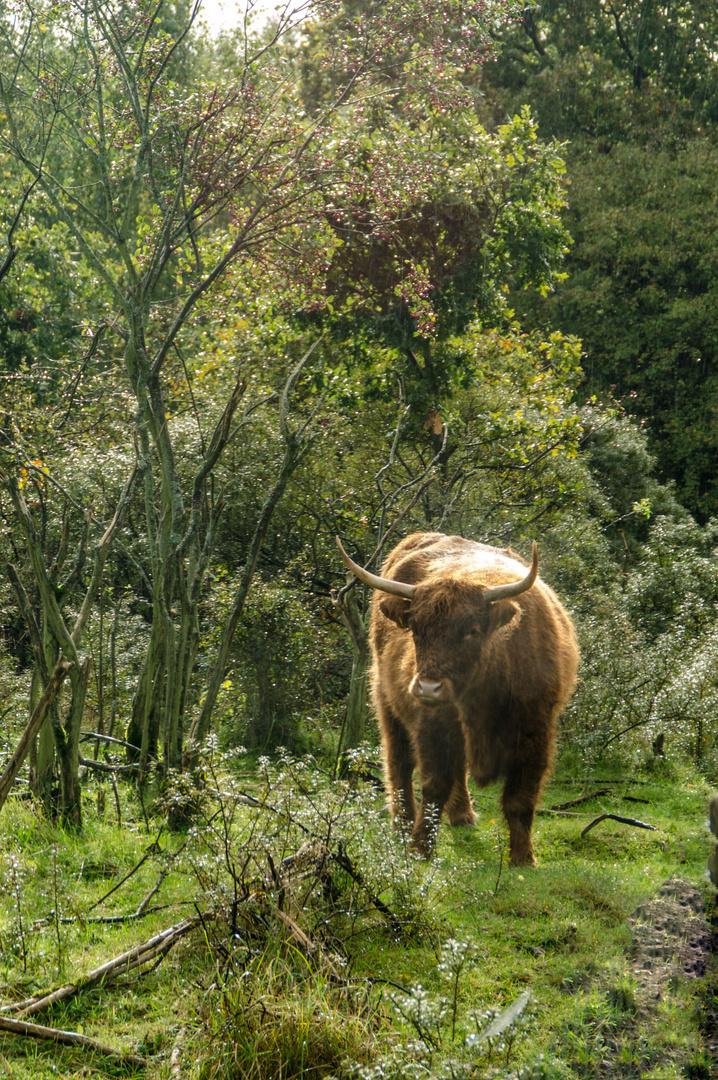 Schottische Highland Cattle