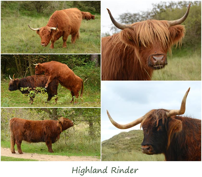Schottische Hochland - Rinder