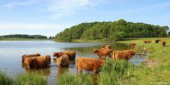 Schottische Hochlandrinder am Winderatter See