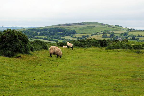 Schottische Schafe gibts auch in Südengland....