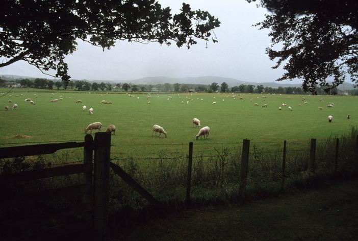 Schottische Schafweide