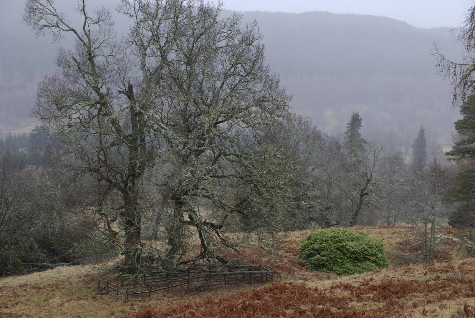 Schottischer Märchenwald (02.2008)