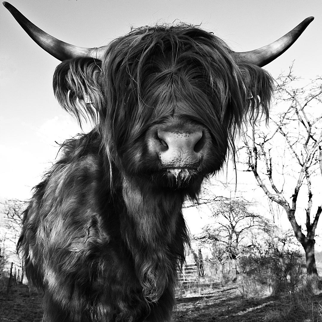 Schottisches Hochlandrind, Highland Cattle oder Kyloe