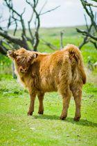 schottisches Hochmmoor-Rind (Bullenkalb)