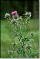 Schottland - Die Nationalpflanze!