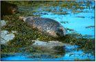 Schottland - Seehunde auf den Summer Isles