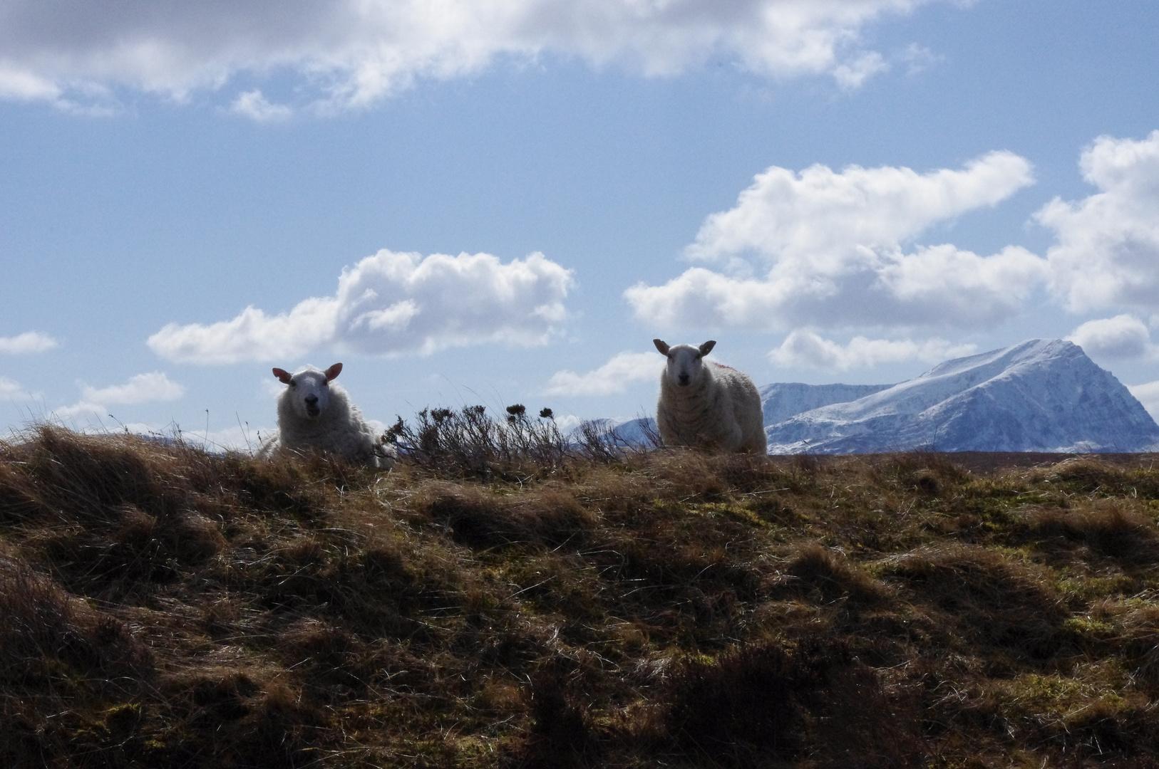 Schottlands Schafe