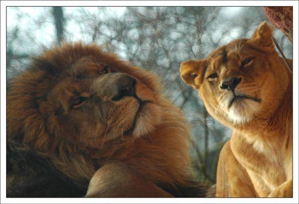 schräge Löwen