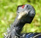 schräger Vogel ( Geierperlhuhn )