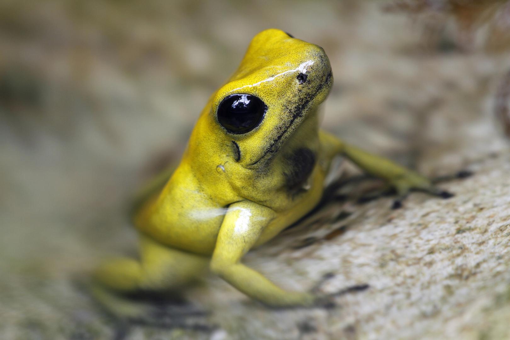 Schrecklicher Pfeilgiftfrosch (Phyllobates terribilis)