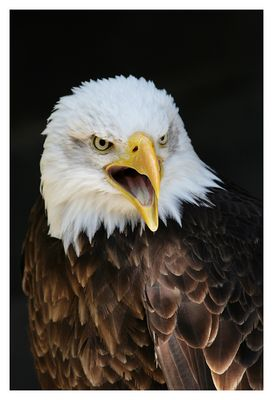Schrei des Adlers
